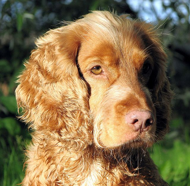 English Springer Spaniel Cross Breed With Collie Irish Red