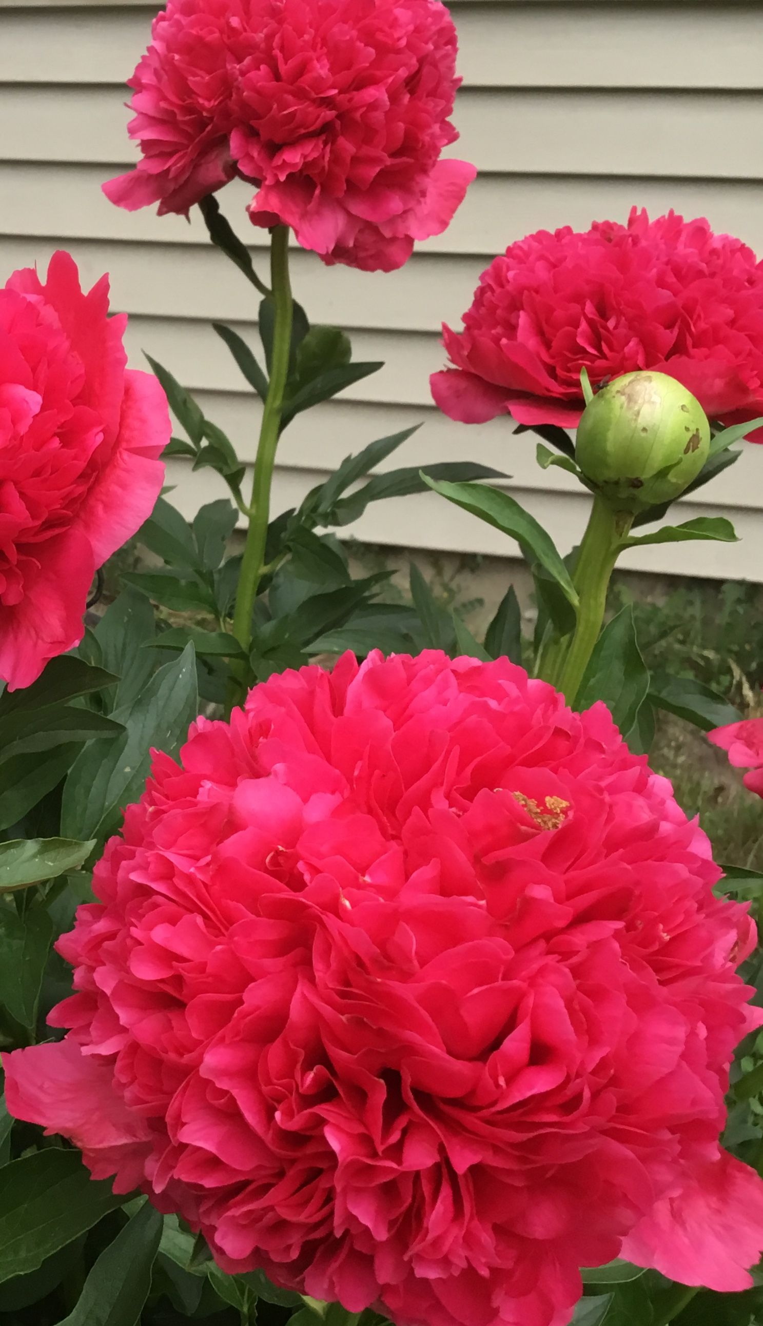 Camellia Japonica Roger Hall command performance peony (with images) | peonies, flowers