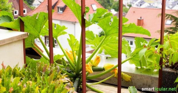 zucchini vom balkon so w chst das leckere gem se auch im. Black Bedroom Furniture Sets. Home Design Ideas