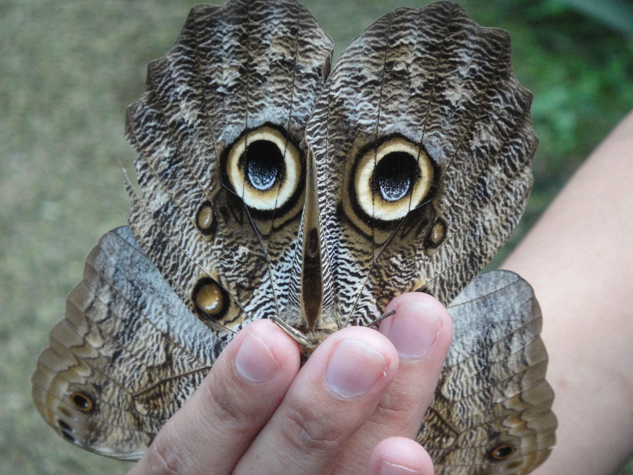 Owl Butterfly (underneath side), Costa Rica