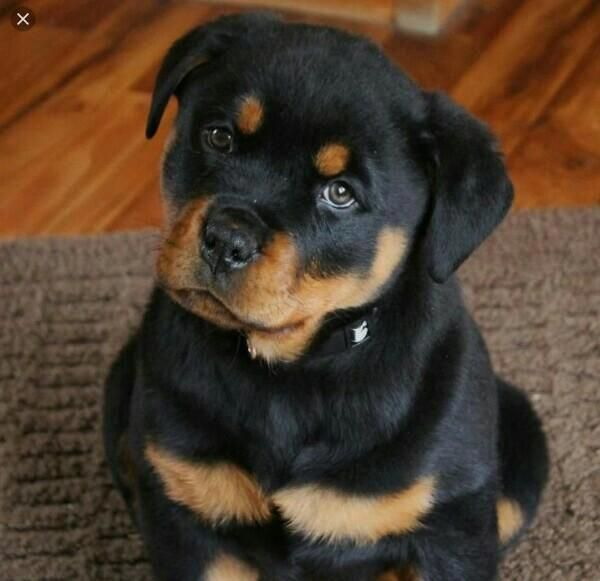 The Many Things We All Admire About The Playful Rottweiler