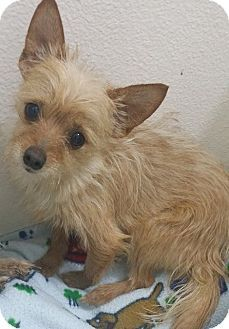 Pin By Aspen Hanley On California Adoptables Dogs Yorkie Terrier Mix