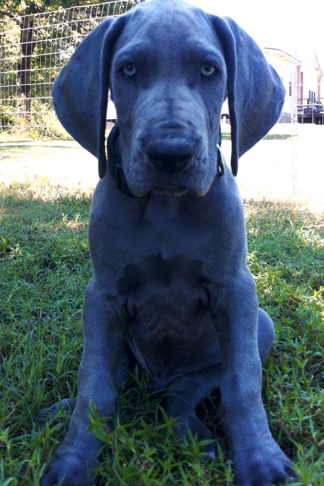 S S Blue Haven Great Danes Great Dane Dog ...