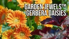 Putnam from HortTube on Youtube tells you why you need these Garden Jewels Gerbera Daisies - All Season Flowers  Jim Putnam from HortTube on Youtube tells you why you need these Garden Jewels Gerbera Daisies - All Season Flowers