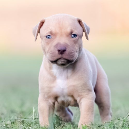 Pitbull Puppies For Sale Yahoo Image Search Results Pitbull