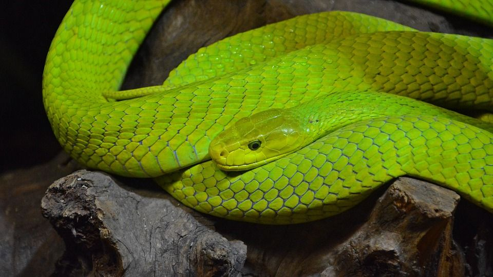 Green Mamba Dream Meanings Color Dream Mean Green
