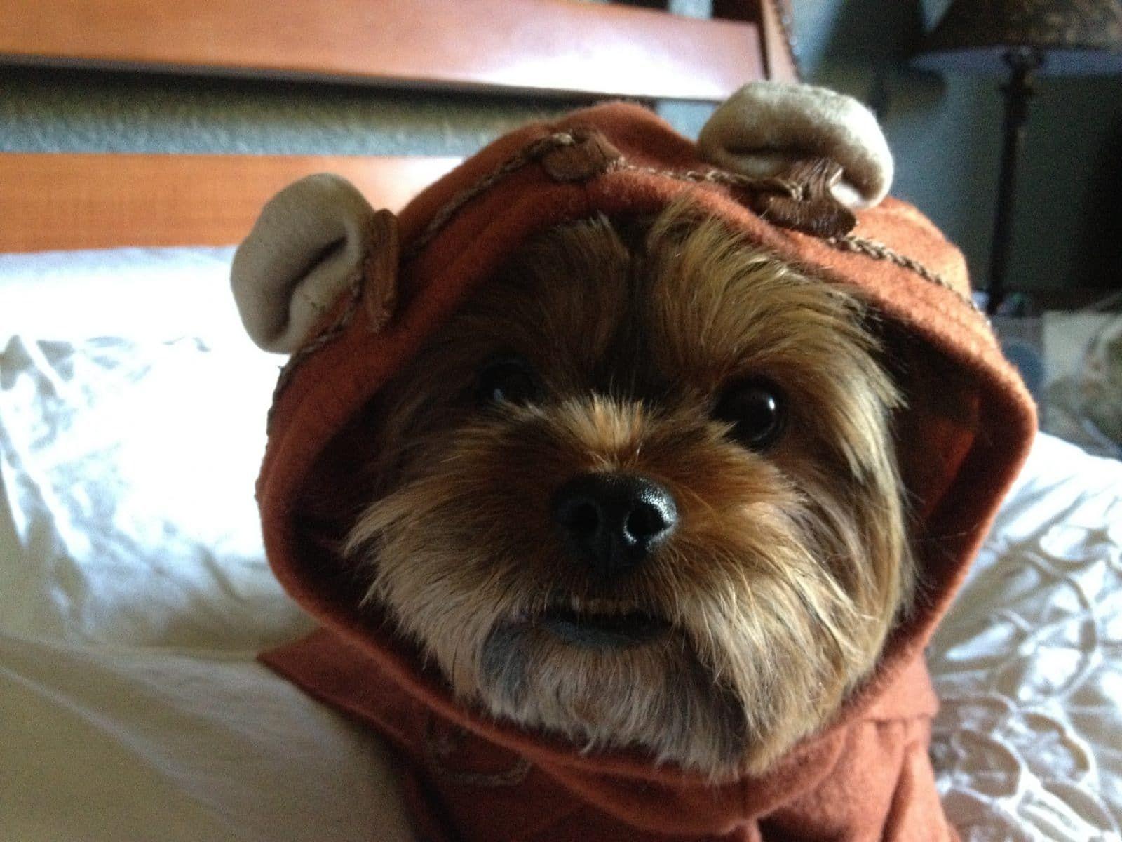 Marjorie S Boogie Yorkie Dog Costumes Cute Animals