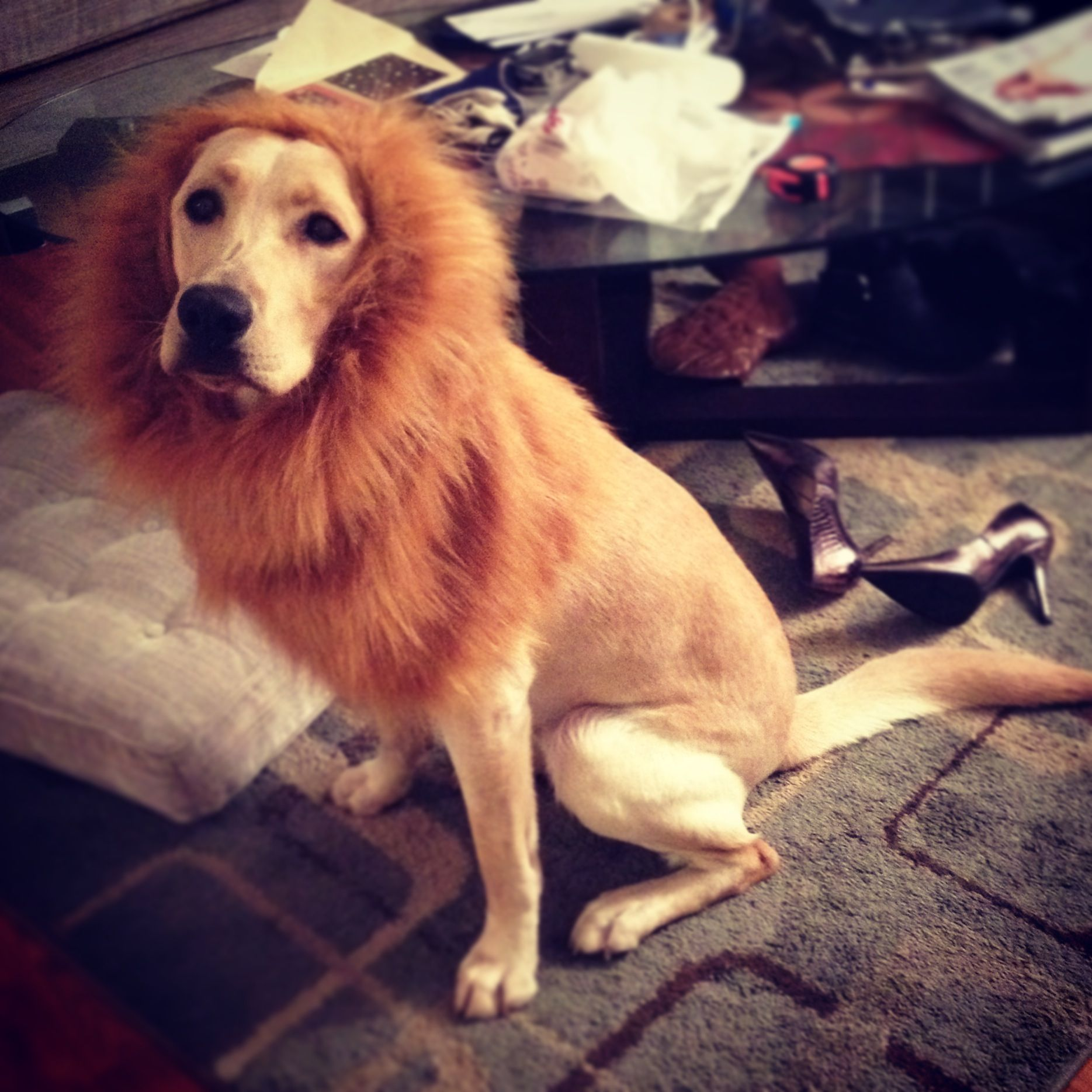 lion costume for my yellow lab! He's so perfect