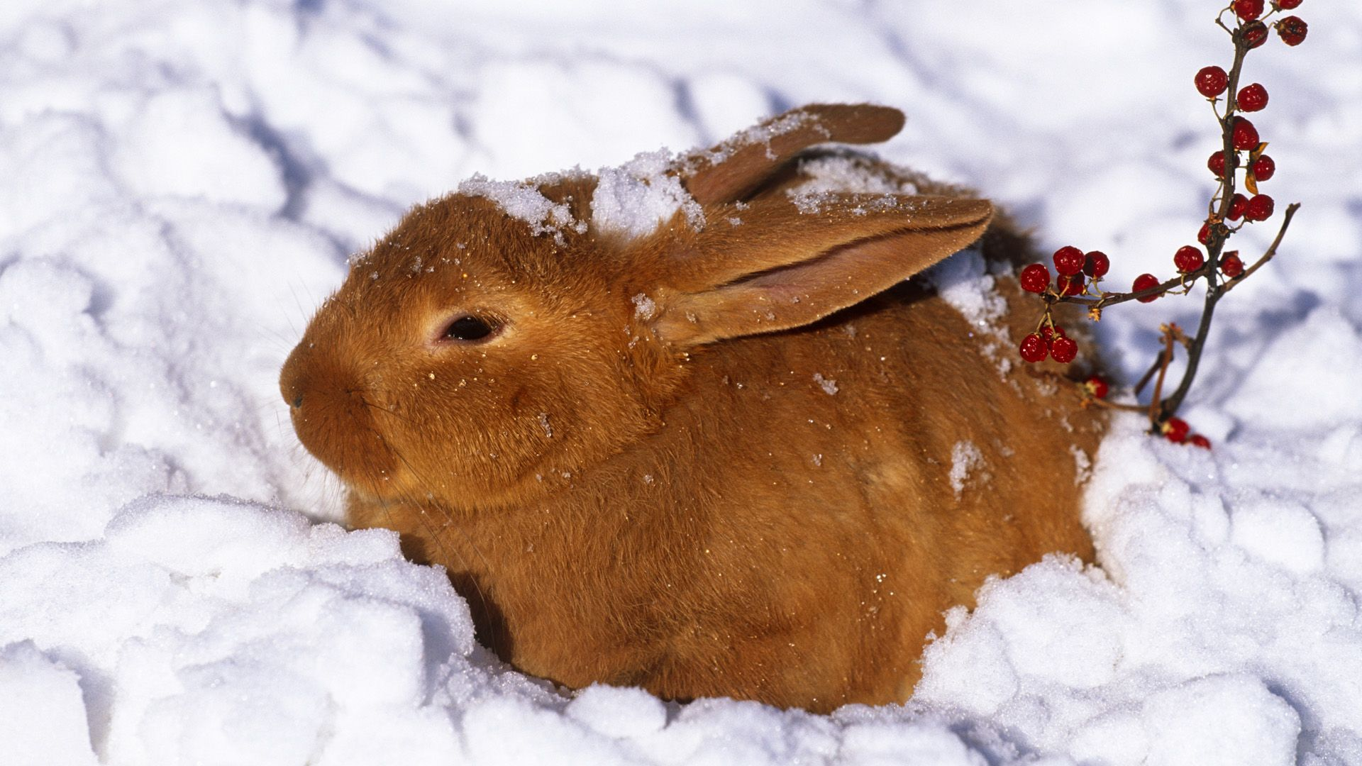 New Zealand rabbit (Oryctolagus) in snow with red berries