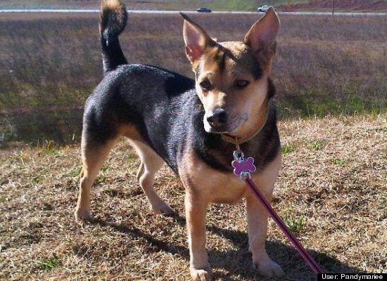 Corgi German Shepherd Beagle Mix My Perfect Puppy Hearts