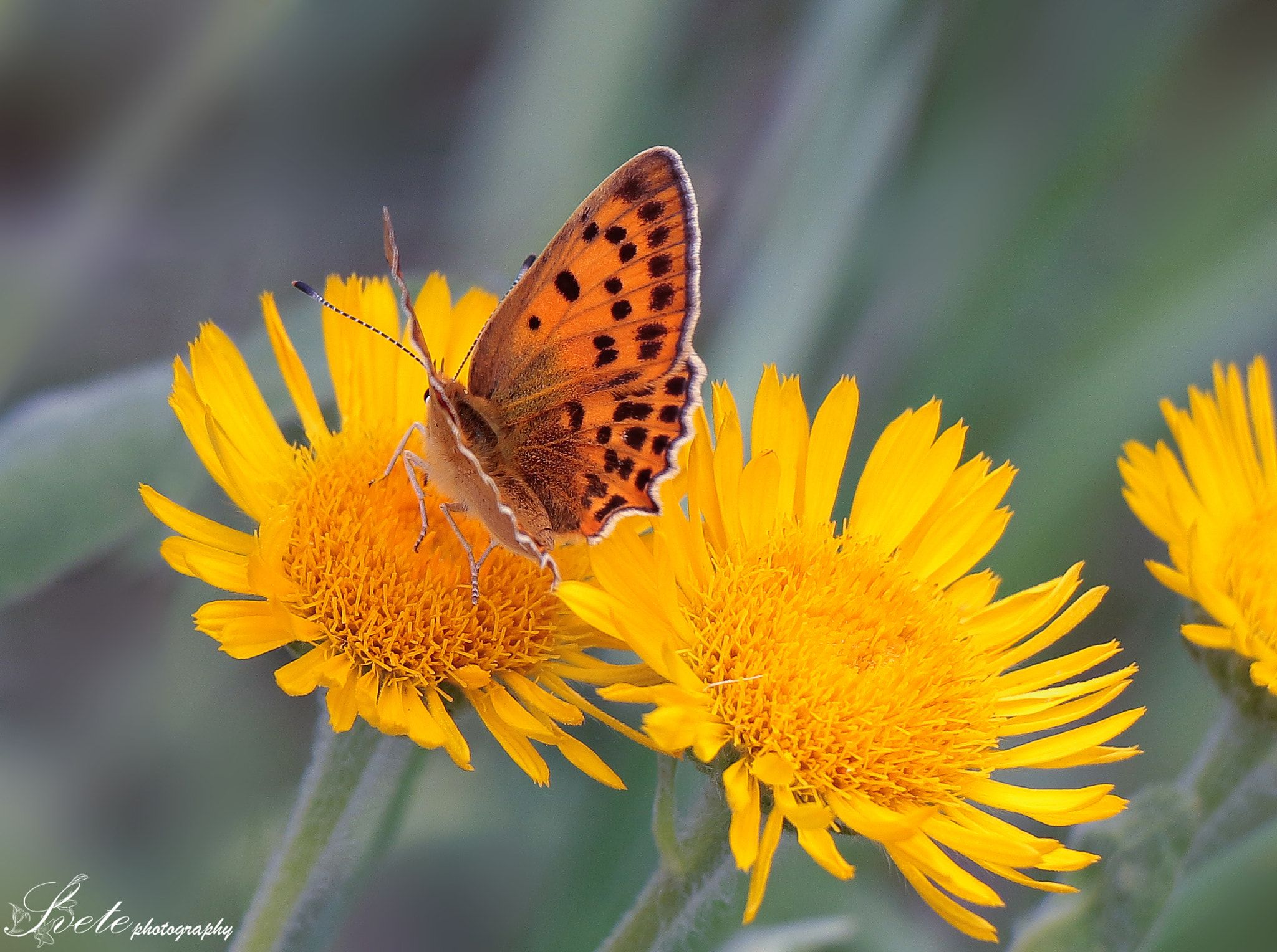 Butterfly On Yellow Mountain Flowers By Svete On 500px Butterfly