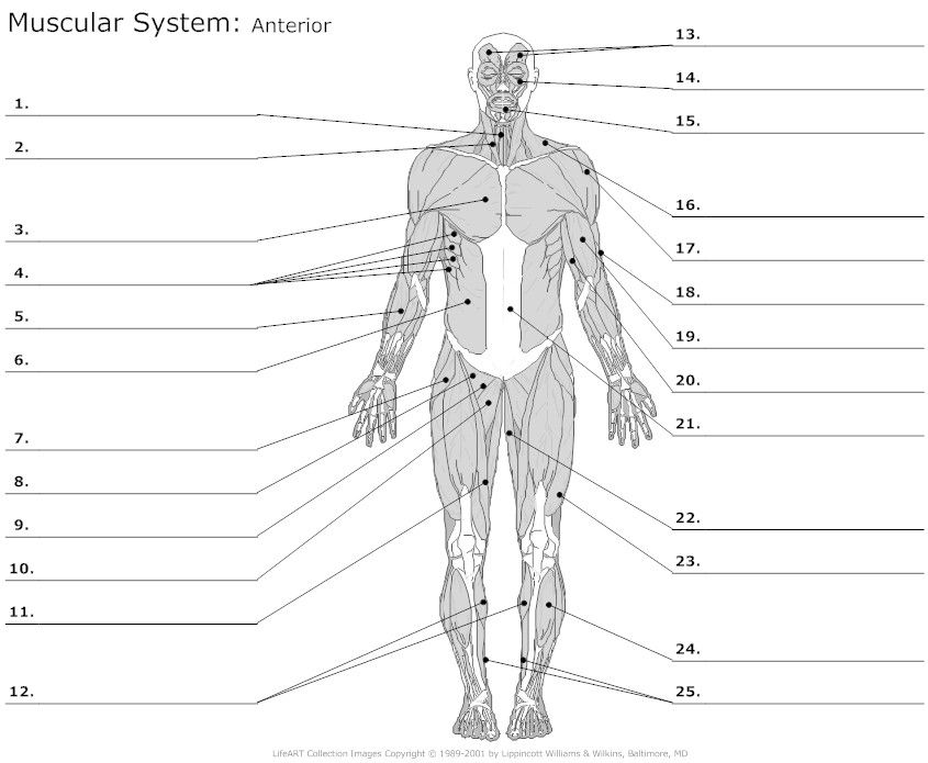 {Learn Anterior muscles by alysenbeasley6 Memorize – The Muscular System Worksheet