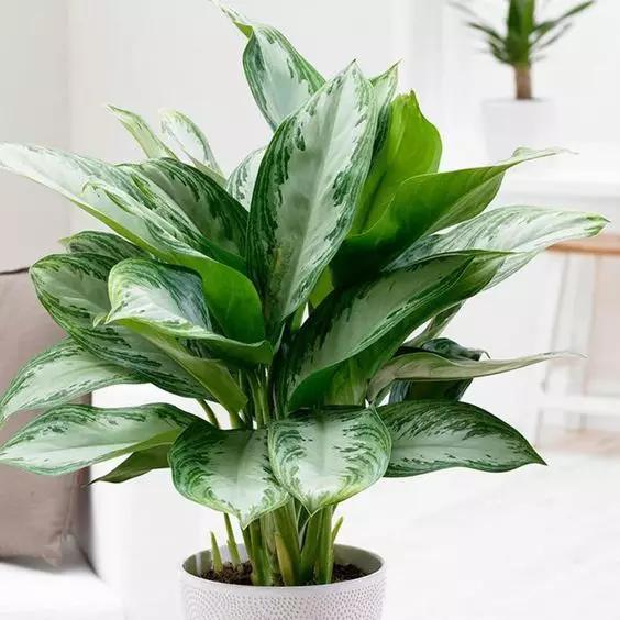 Jakie Kwiaty Do Lazienki Bez Okna Znamy Idealne Gatunki Roslin Genialne Plants Chinese Evergreen Plant Evergreen Flowers