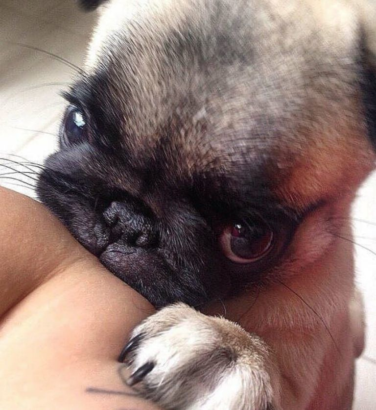 The 100 Cutest Animals Of All Time List Inspire Pug Puppies Cute Baby Pugs Baby Pugs