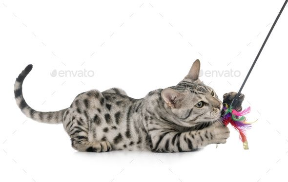 bengal cat in studio by cynoclub. bengal cat in front of white background #AD #studio, #cat, #bengal, #cynoclub