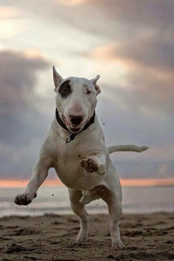 Resultado de imagen para Bull Terrier 犬 キス