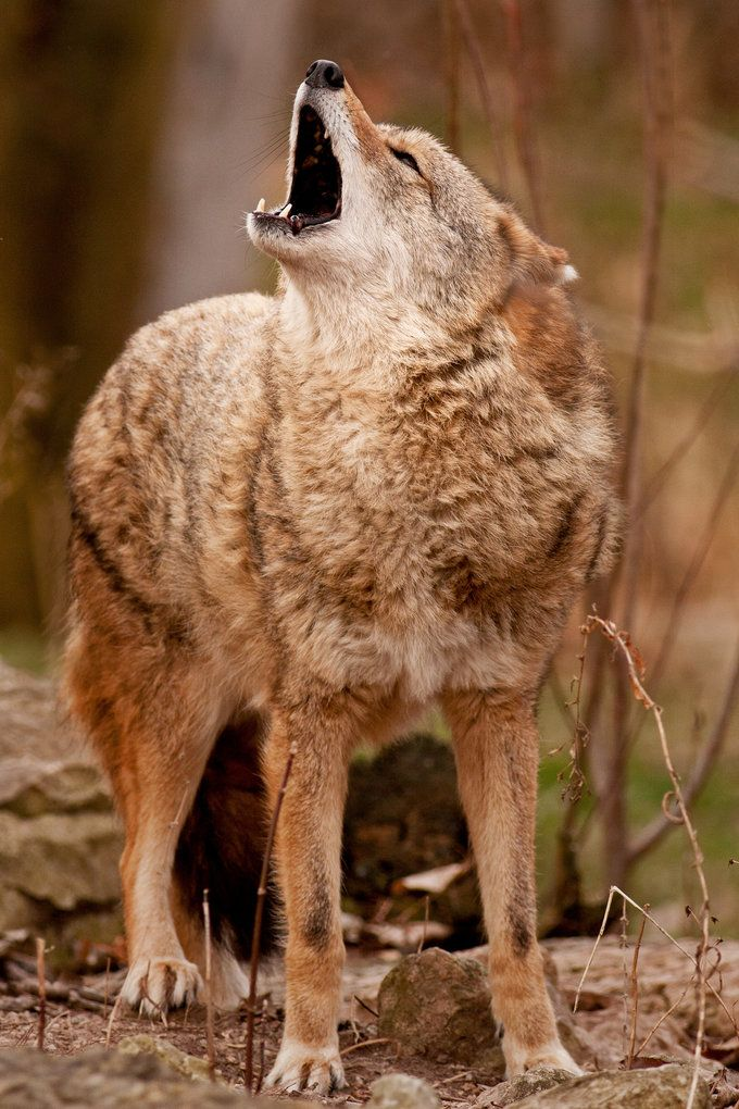 funnywildlife: Wolf Howling Good Times at t Bay Beach Wildlife Sanctuary in Green Bay, Wisconsinby Scott Denny Photography