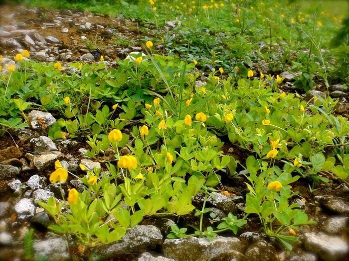 Flores Amarillas De La Planta Del Maní O Cacahuate Duran Sólo Un