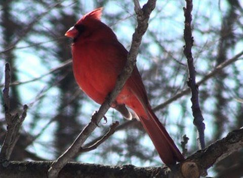 The Red Birds Have A Special Meaning Cardinals Pinterest