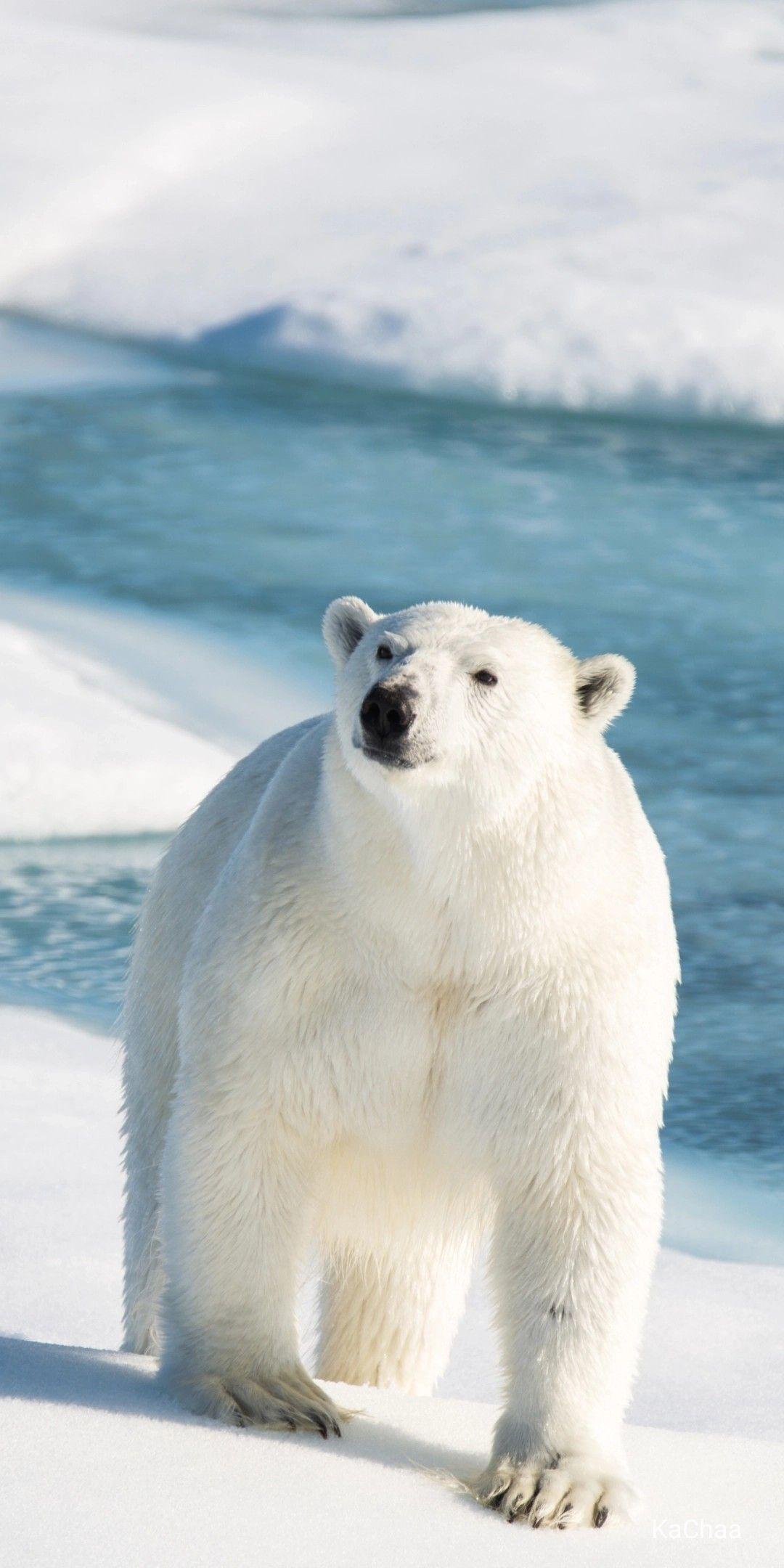Polar Bear Polar Bear Wallpaper Bear Pictures Baby Polar Bears