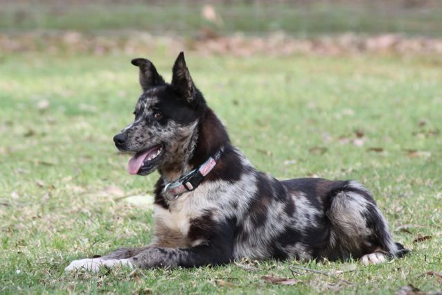 Blitz Male Koolie 6 7 Mo Cambewarra Nsw Koolie Dog Australian Dog Breeds Dog Breeds
