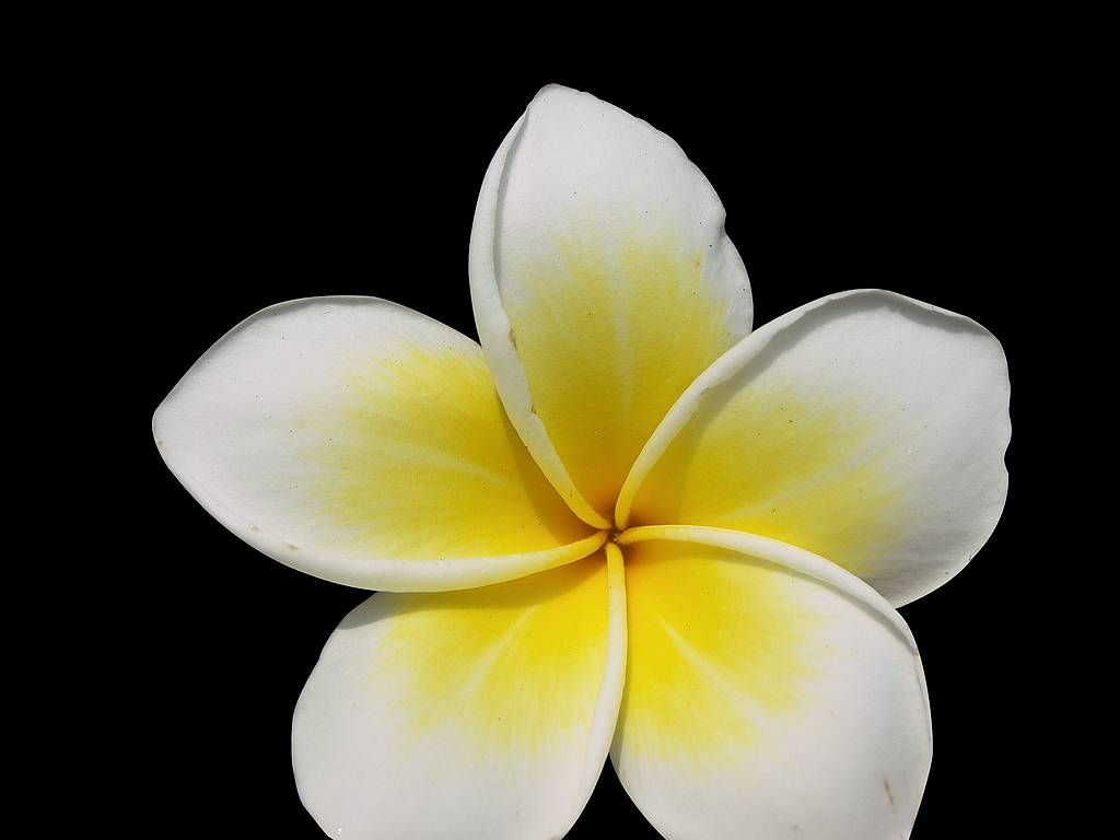 plumeria flower   Jasmine flower, Plumeria, Jasmine flower ...