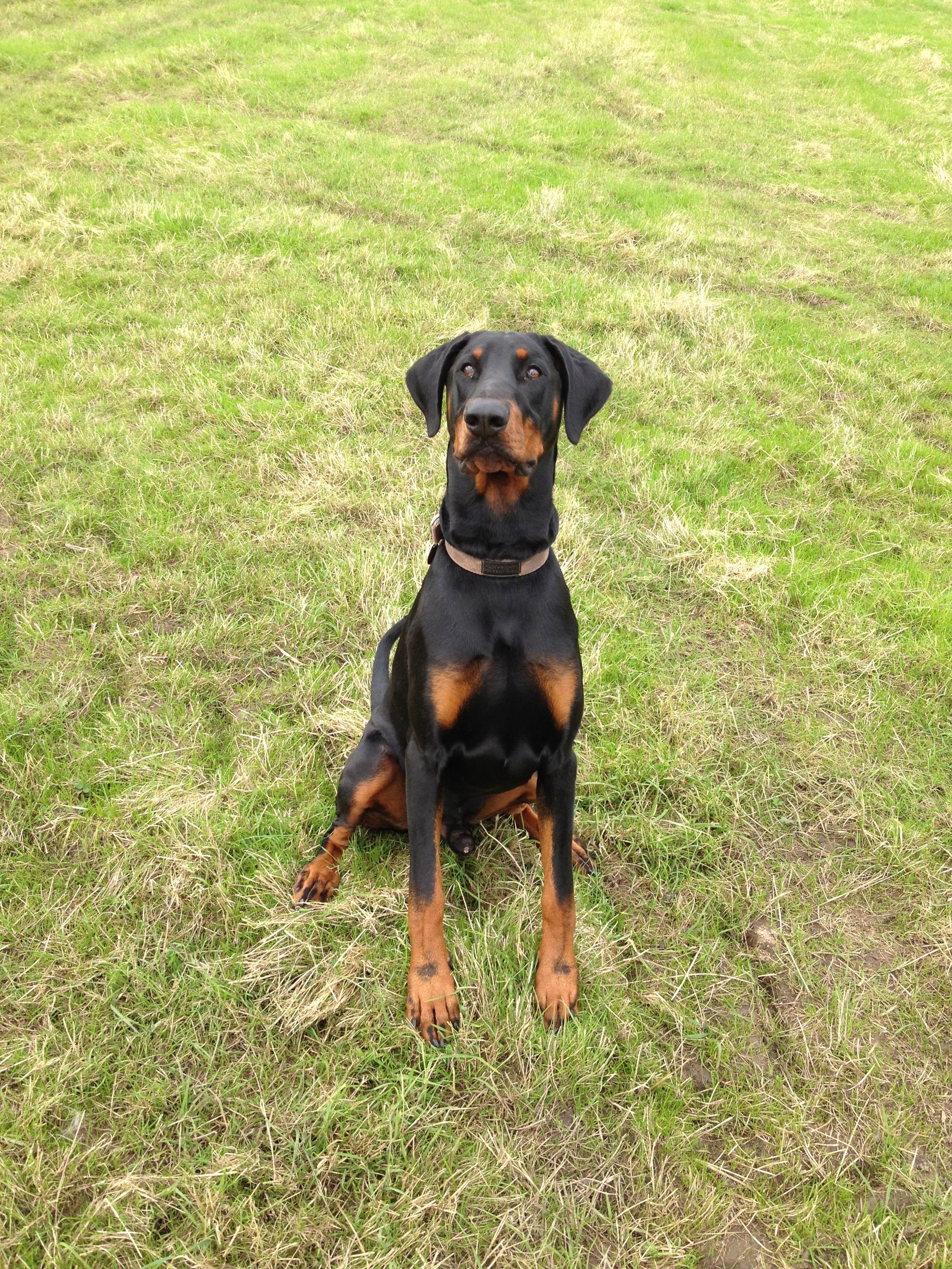 Doberman Pinscher Training You Can Get More Details Of Pet