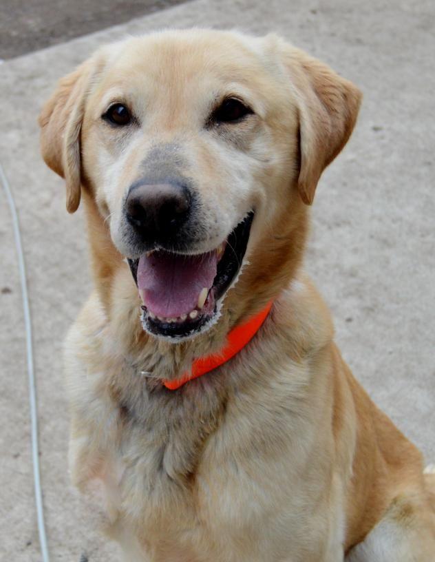 Adopt Bo on Cute dog pictures, Labrador retriever
