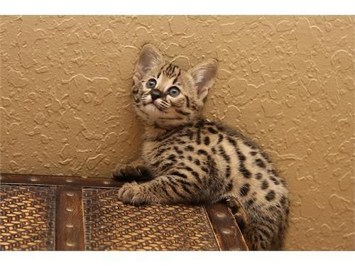 Small Savannah Cat This One Is Perfect With Images Savannah Kitten Kittens Cute Small Animals
