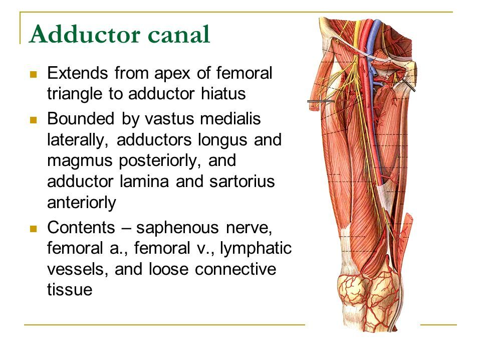 Image result for adductor hiatus | Anatomy | Pinterest