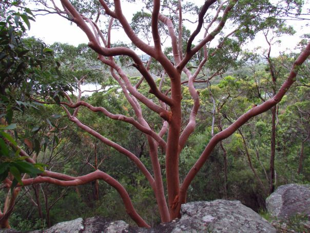 Posts About Sydney Red Gum Tree On Ffeathers Tree Tree Drawing Backyard