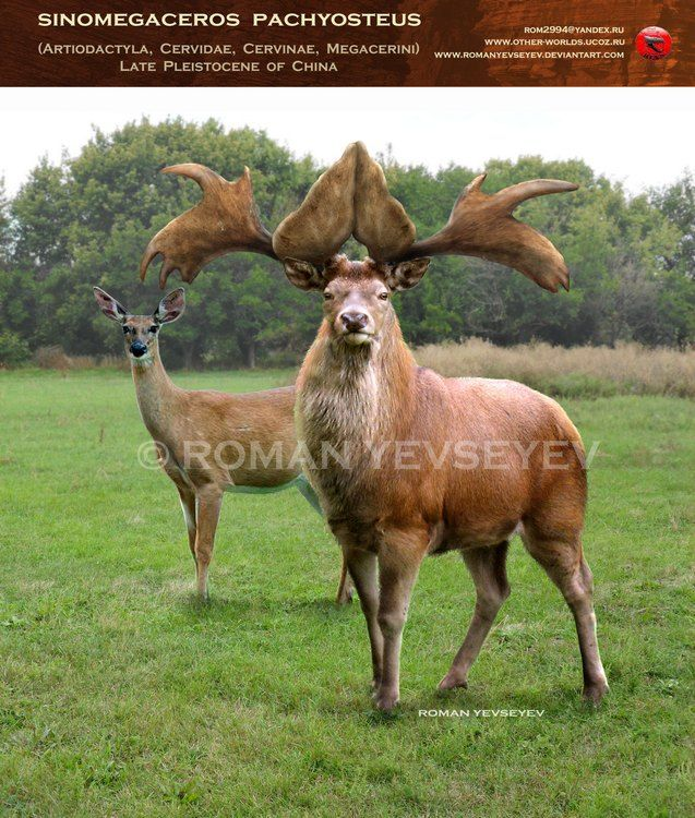 Sinomegaceros Pachyosteus Animais Extintos Animais Pre