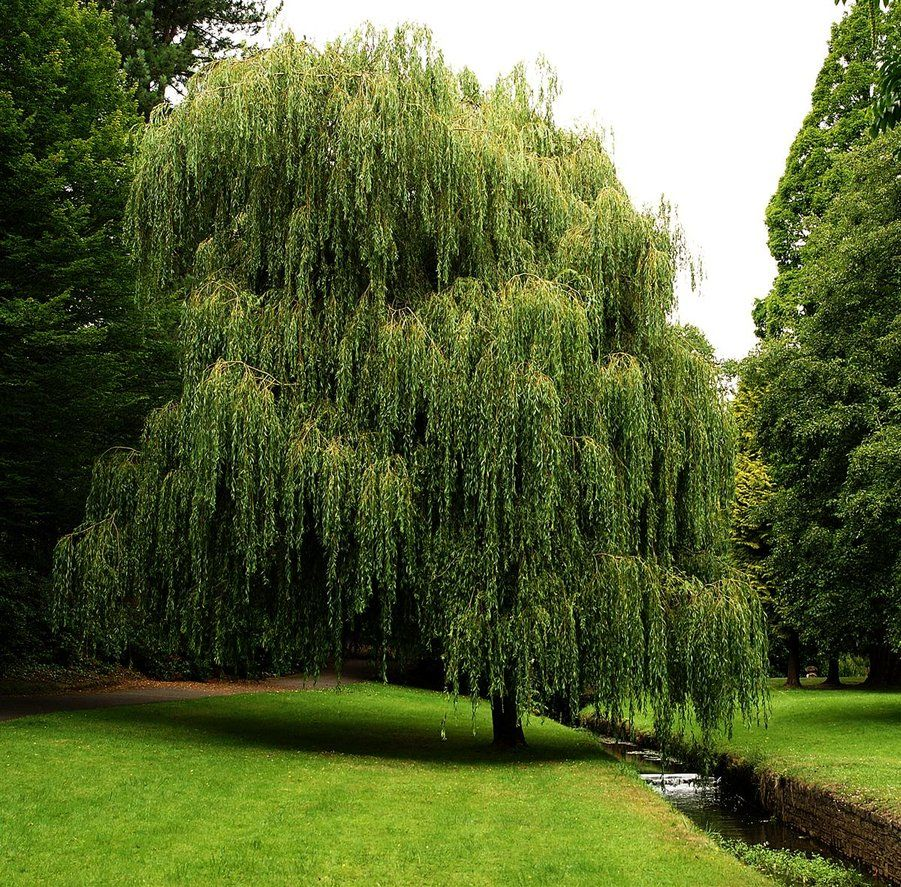 Weeping Willow Sun - Probably the fastest-growing shade tree. grow ...