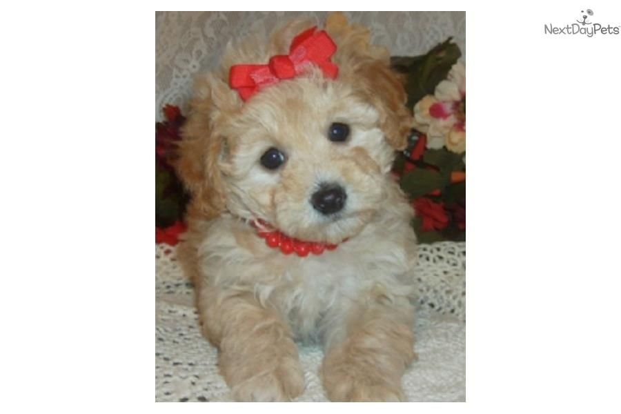 Minnie Cute Bichonpoo Puppy for Sale Queens NY | Bich-Poo