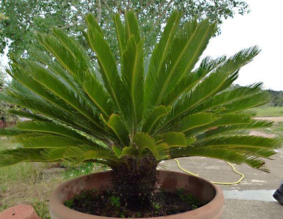 Cycas cultivo y cura plantas y cuidados pinterest for Hortensias cultivo y cuidados