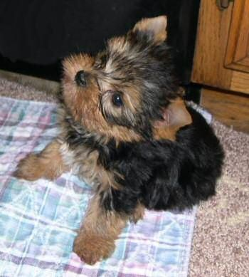 Most Adorable Thing In Life Yorkie Puppy Yorkie Dogs Yorkie