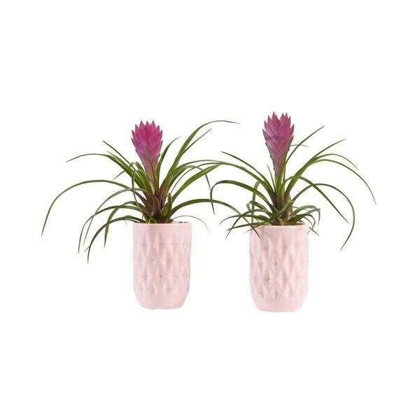 Tillandsien Set Flamingo Summer Mit Stecker Und Töpfen   Werbung #Blumen  #Blumenset #