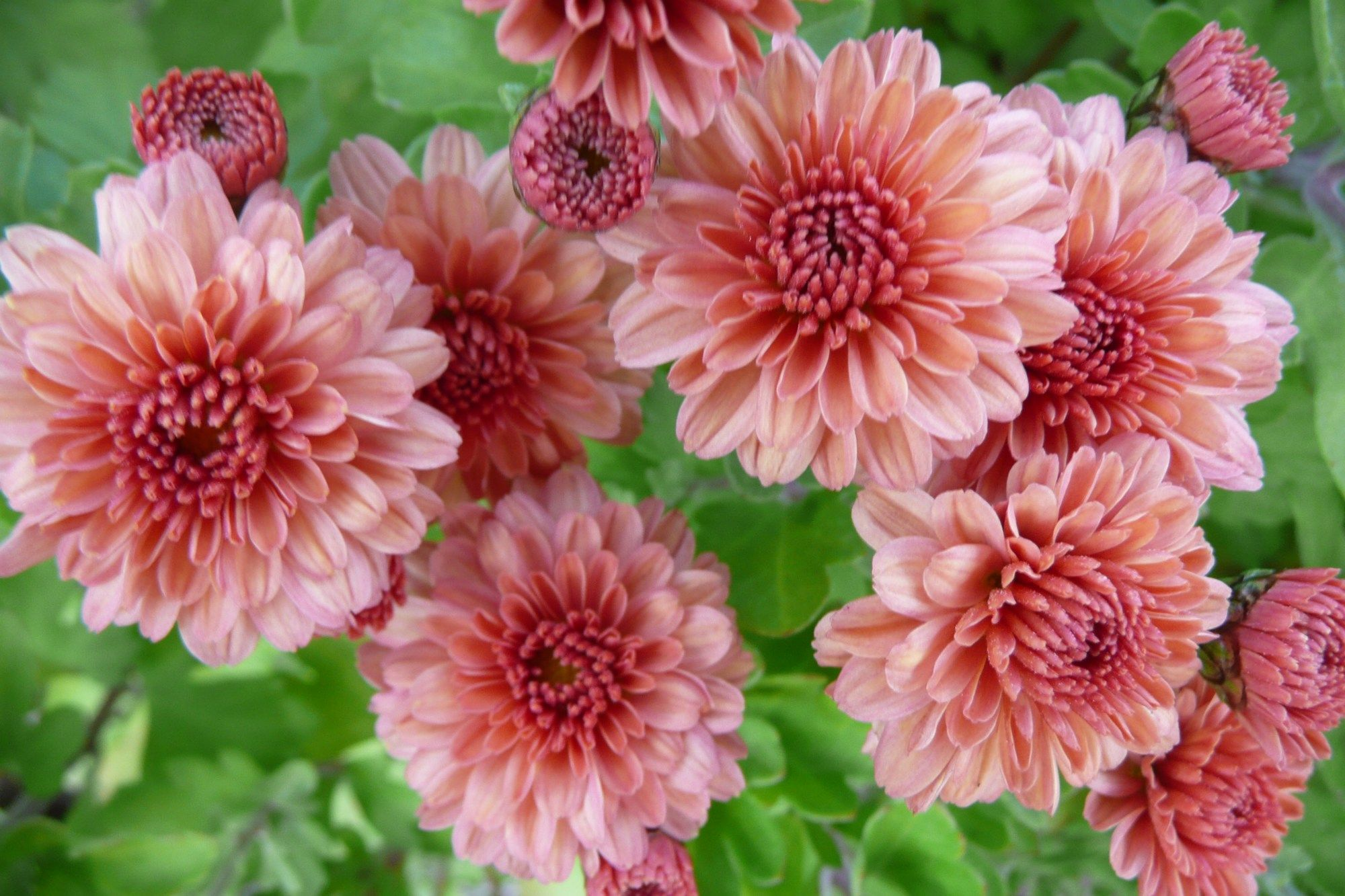 Chrysanthemum Flat Mums Flat Poms Spray Mums Flower Identification