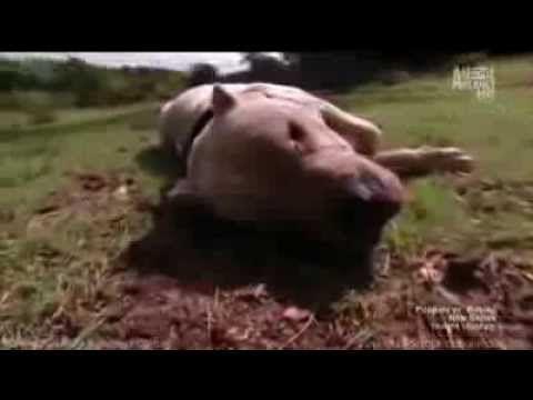 Dogo Argentino Morocho Saves 2 Girls From Puma Attack Animal