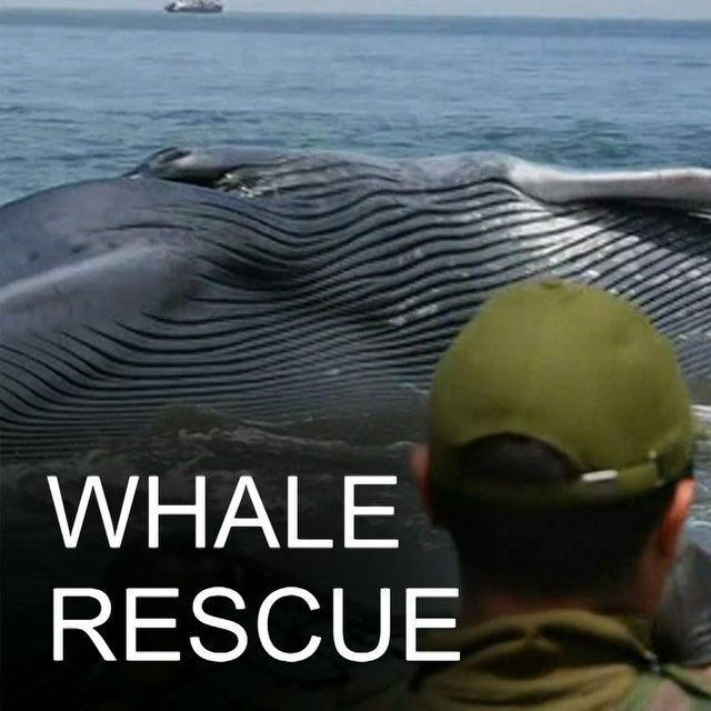 30 DEC:  Fishermen beachgoers and emergency services help free a whale stranded for several hours on a beach in north-western Chile.  See more of the rescue: bbc.in/whalechile #Whales #Whale #Rescue #AnimalRescue #Sea #Chile #Iquique #BBCShorts @BBCNews by bbcnews