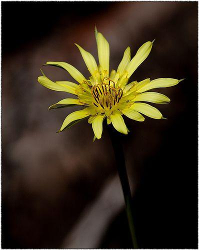 Yellow Wildflower Eastern Michigan Yellow Salsify Wild Flowers Yellow Wildflowers Beautiful Flowers