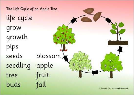 Life cycle of an apple tree word mat – Apple Life Cycle Worksheet