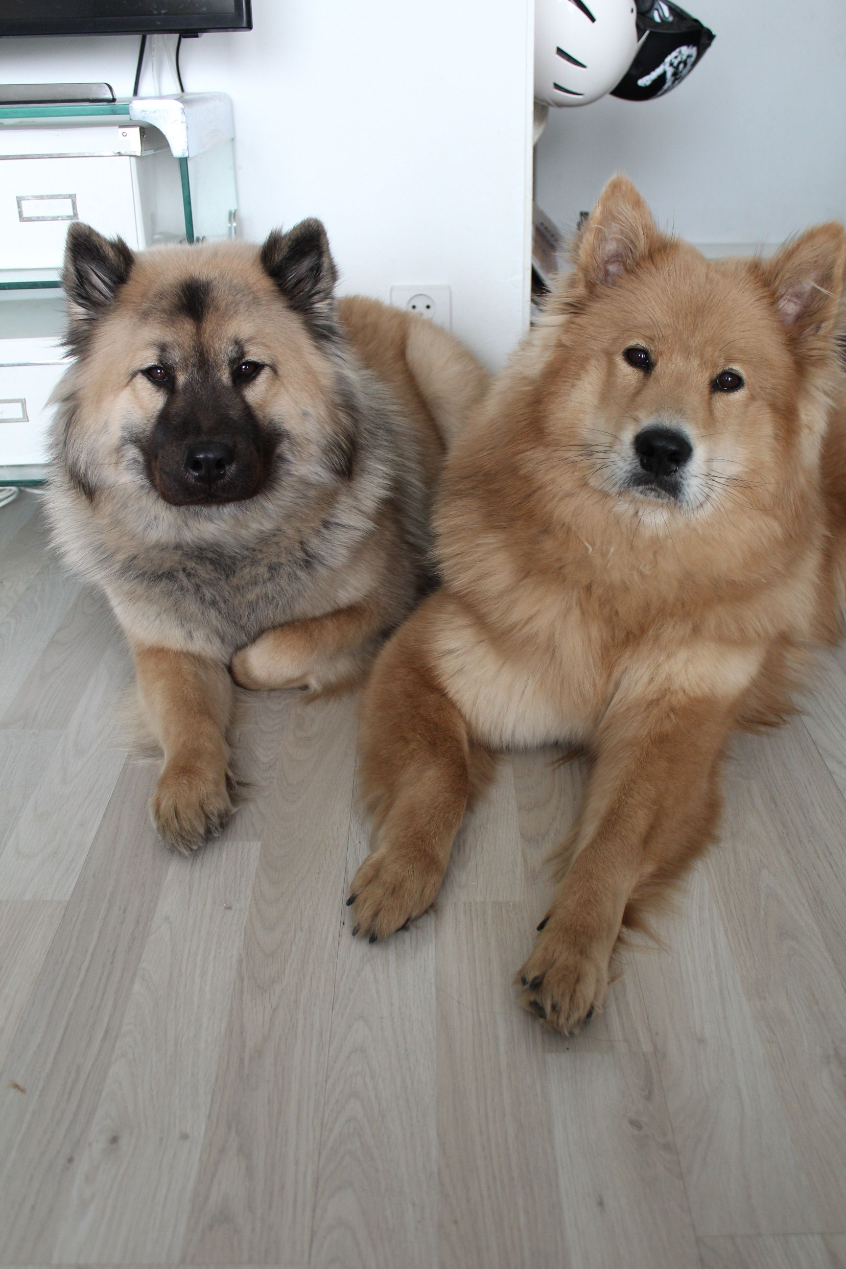 Eurasier Karhunpesan Ok Oona And Karhunpesan Champion Carolina