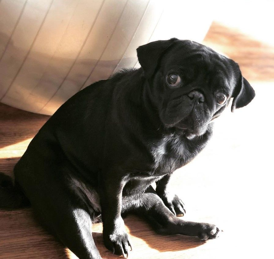 75 Best Pug Dog Names Dog Names Dogs Pugs