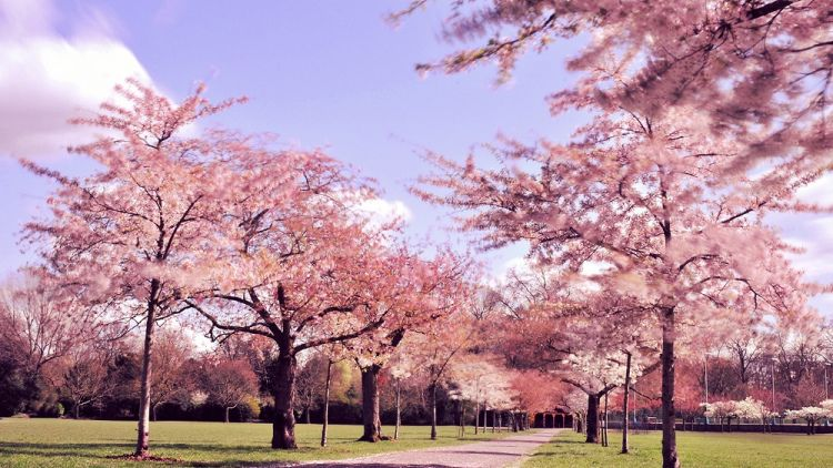 Cherry blossoms in Battersea Park