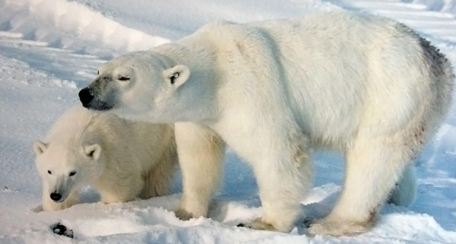 Polar bear by Sharilyn Mack on Amazing animals Top 10