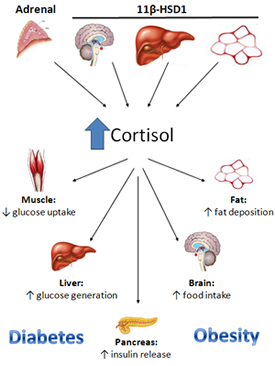 relationship between cortisol and glucagon administration