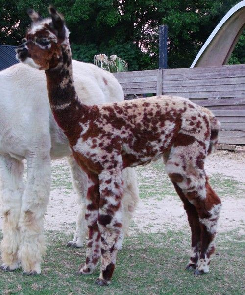Alpacas For Sale Kuska Spot To Trot Appaloosa Huacaya Female Unproven Mississippi Moss Point Alpacas For Sale Alpaca My Bags Cuddly Animals