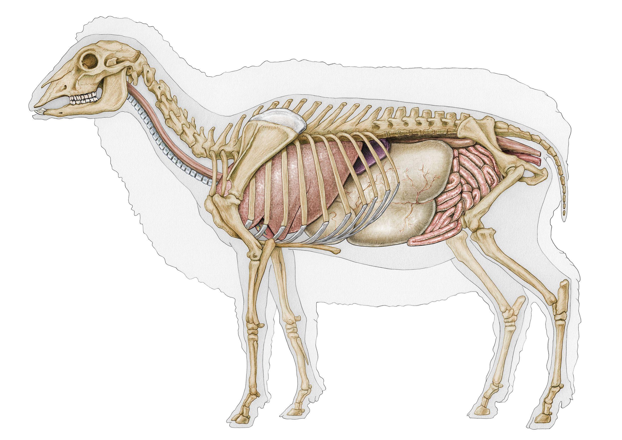 Sheep anatomy skeleton