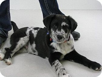 Minneapolis Mn Australian Shepherd Catahoula Mix Meet Nat 9067 L A Puppy For Adoption W Midwest Animal Crazy Dog Lady Mixed Breed Dogs Kitten Adoption